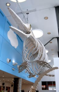 The Discovery Ichthyosaur Replica